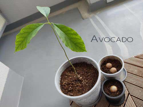 アボカドの種の成長記録